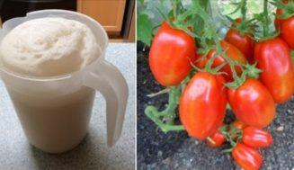 Краставиците подхранвам на 10 дни, доматите – на 15. Добивът стана двоен, а и не знам какво е това болест по растенията